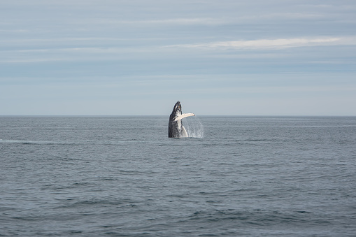 istock Whale watching in Husavik, North Iceland. 1008235644
