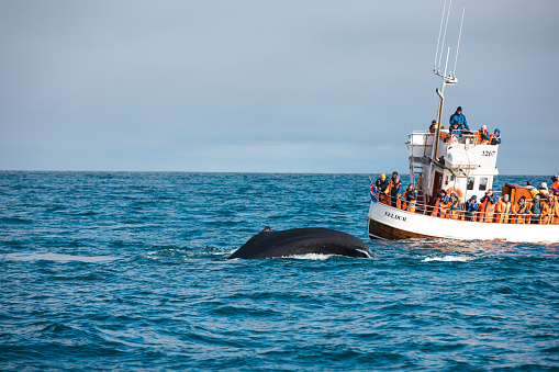 istock Whale Watching In Iceland 936159944