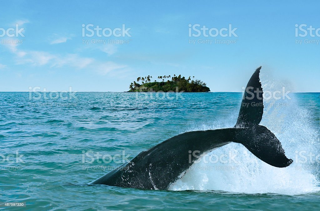 Whale Watching in Rarotonga Cook Islands stock photo