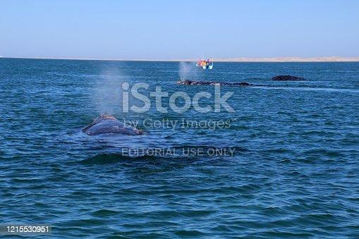 Mexico, Baja California:- 03/11/2016 Whale watching of gray whales in the Laguna San Ignacio Mexico, Baja California