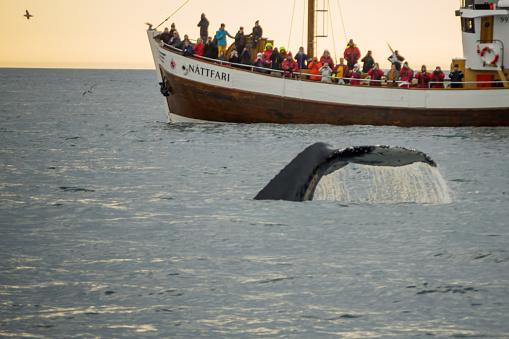 istock Whale watching, near Husavik 578817944
