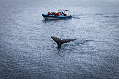 istock Whale watching, near Husavik 629804114