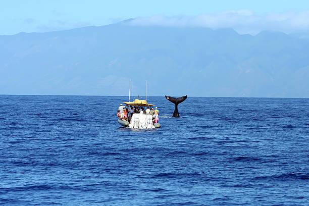 whale watching off coast of maui, hawaii - rondvaartboot stockfoto's en -beelden