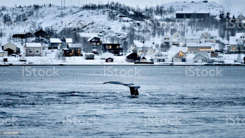 Whales in Coastline, Tromso, Norway stock photo