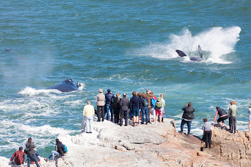 Whales jumping near Hermanus, South Africa