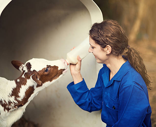 What a cutie! Portrait of a female farmer feeding a calf by hand on the farm calf stock pictures, royalty-free photos & images