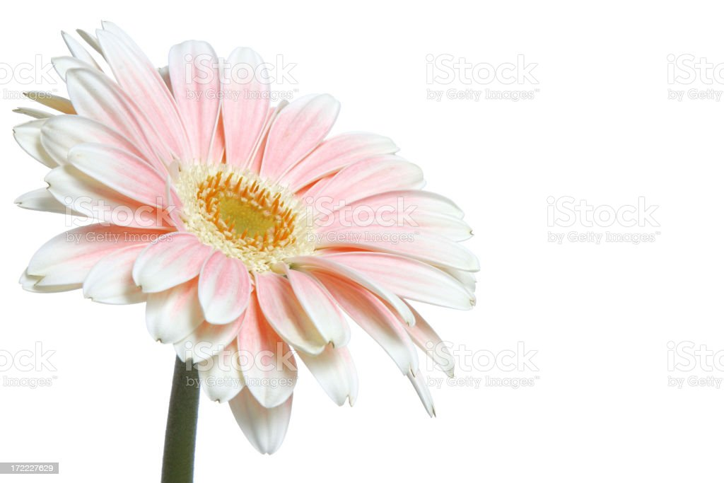 What A Daisy! (with copyspace) royalty-free stock photo