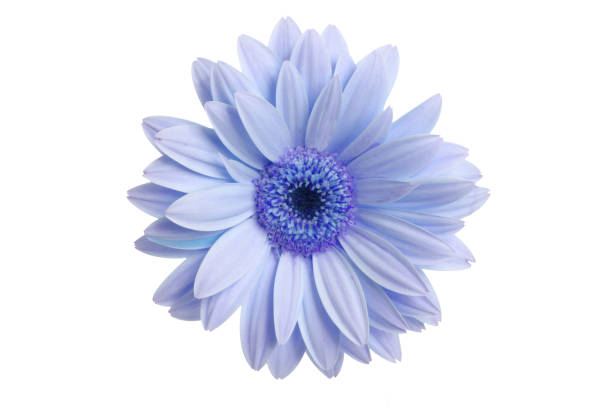 what a daisy! - flowers stock pictures, royalty-free photos & images