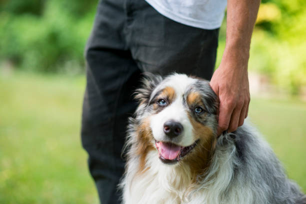 What a Good Boy Handsome purebred blue merle Australian Shepherd dog getting pet by his anonymous male owner while they are out on a walk in the forest together. australian shepherd stock pictures, royalty-free photos & images