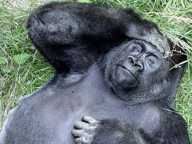 what a headache!?! - gorilla stock photos and pictures