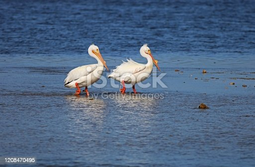 Two American white pelicans stroll along the sandbar at Ding Darling Wildlife Refuge on Sanibel Island, Florida