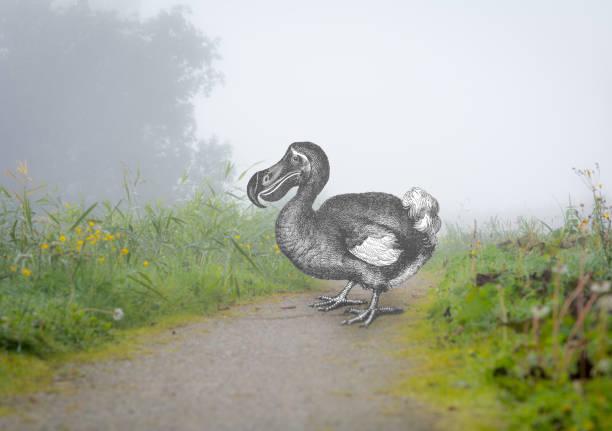 What if an Extinct dodo crossed your path geology engraving from 1887 stock photo