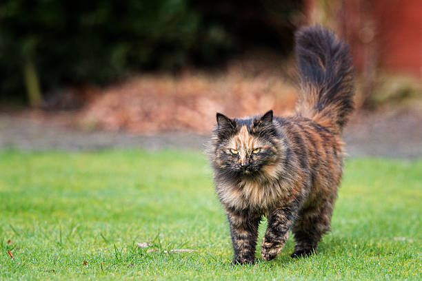 What you looking at! Tabby cat with attitude tortoiseshell cat stock pictures, royalty-free photos & images
