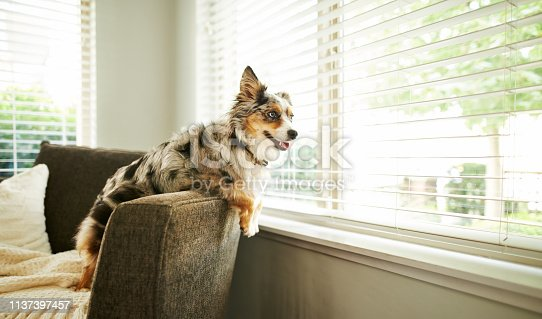 Shot of an adorable Australian shepherd dog sitting on the sofa at home