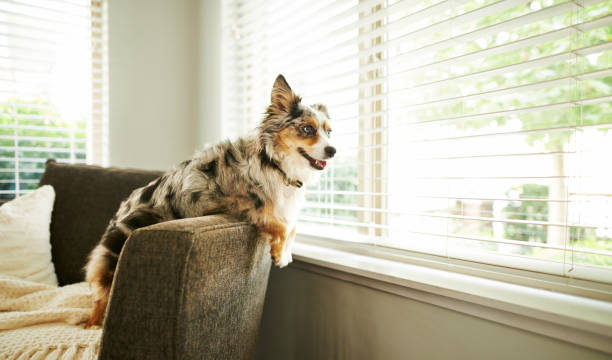 What's going on out there? Shot of an adorable Australian shepherd dog sitting on the sofa at home australian shepherd stock pictures, royalty-free photos & images