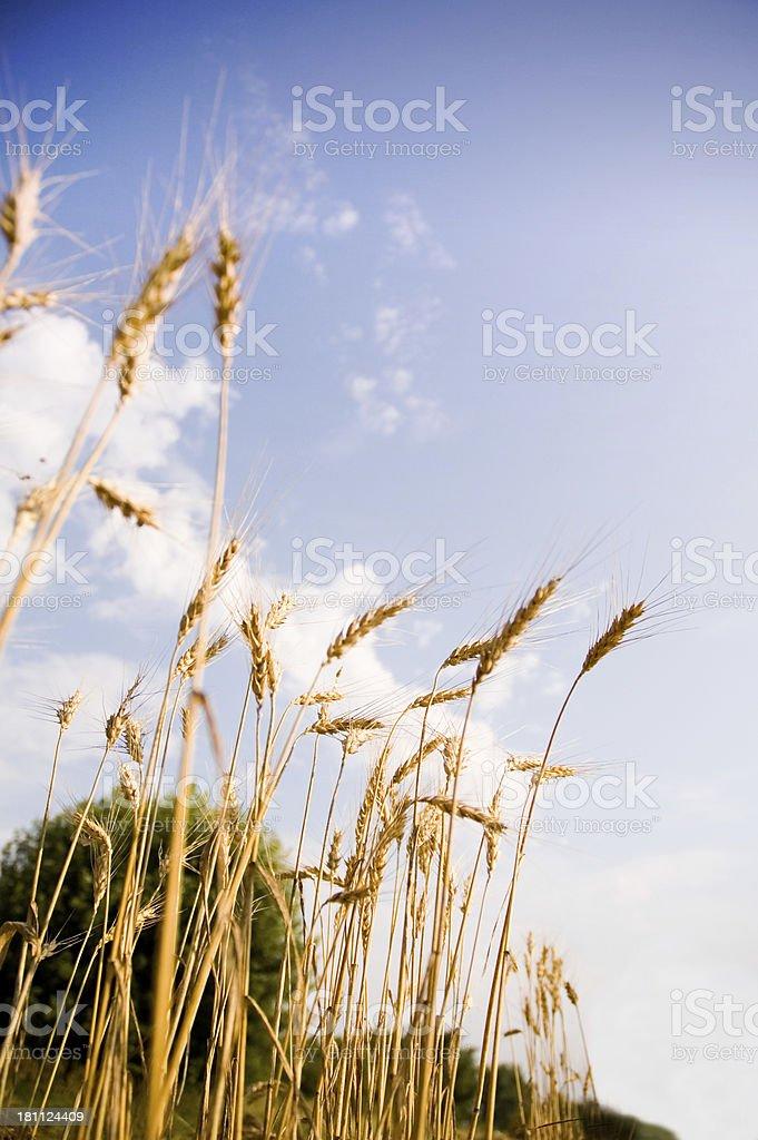 Wheat 2 stock photo