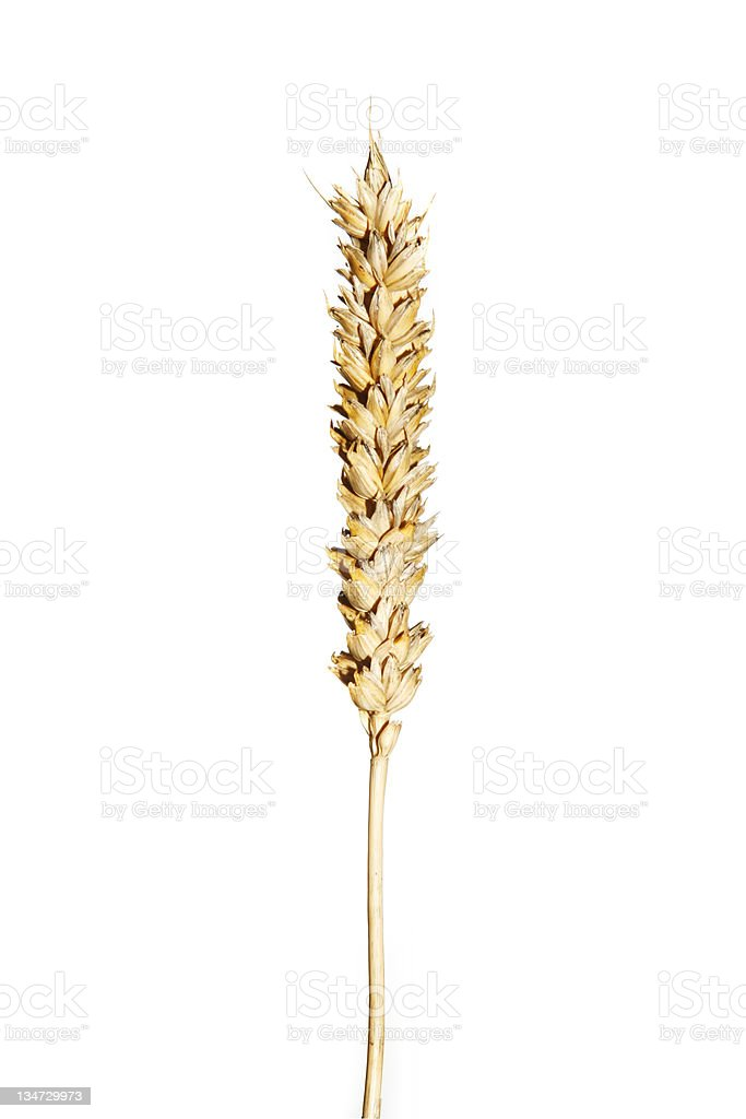wheat alone royalty-free stock photo