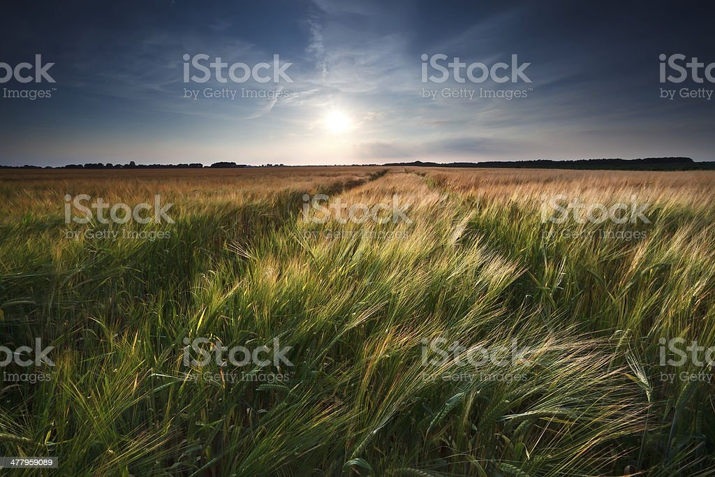 wheat and barley field royalty-free stock photo