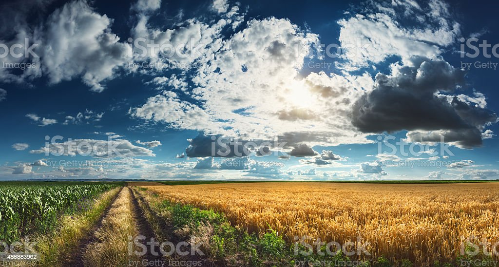 Agricultural panorama of wheat and corn fields with dividing dirt...