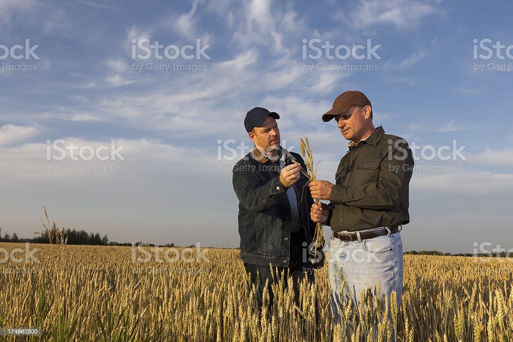 Weizen und Bauern – Foto