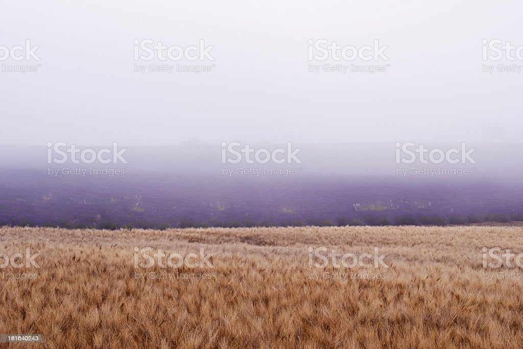 wheat and lavender royalty-free stock photo