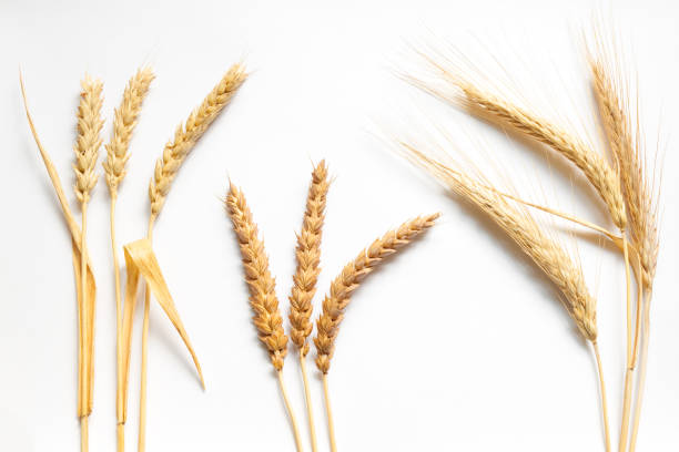 Wheat and rye composition on white cardboard, close up Wheat and rye composition on white cardboard, close up ear of wheat stock pictures, royalty-free photos & images