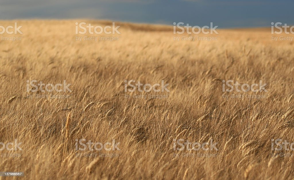 Wheat and Sky royalty-free stock photo