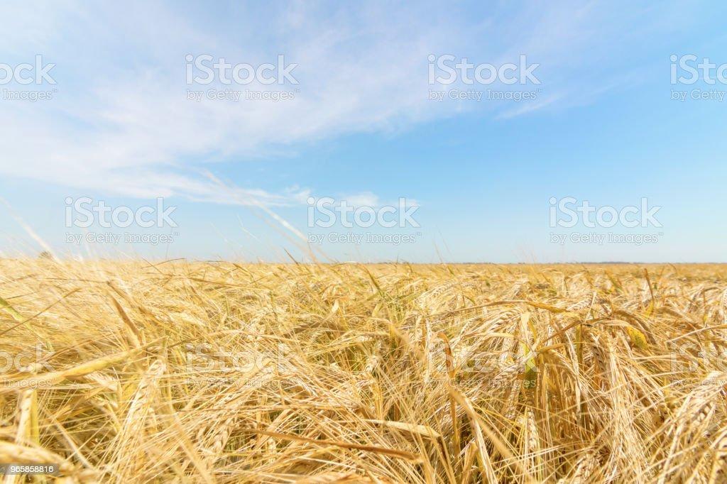 Tarwe en zon onder de blauwe hemel - Royalty-free Blauw Stockfoto
