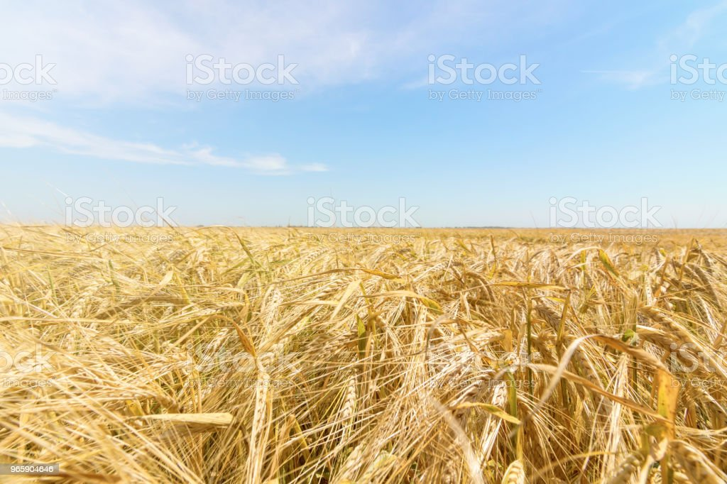 Wheat and sun under blue sky - Royalty-free Agricultural Field Stock Photo