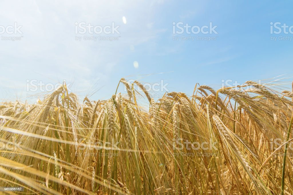Wheat and sun under blue sky - Royalty-free Agricultura Foto de stock