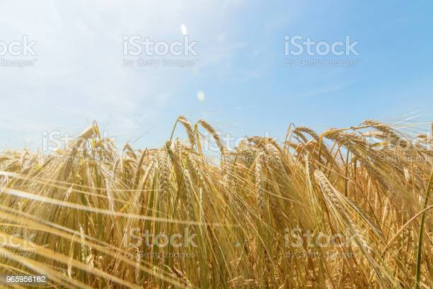 Wheat And Sun Under Blue Sky - Fotografias de stock e mais imagens de Agricultura