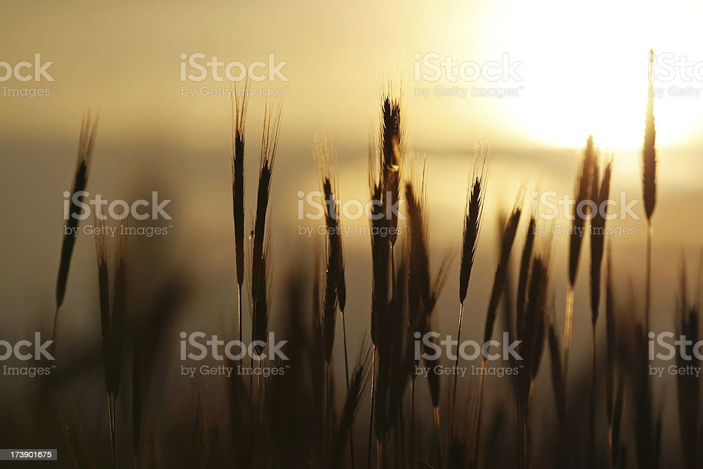 Wheat and sunset royalty-free stock photo