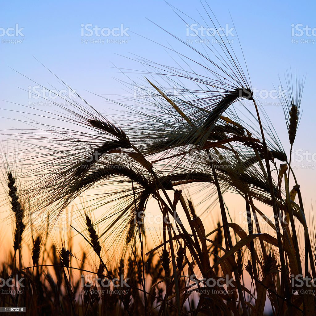 wheat at sunset royalty-free stock photo