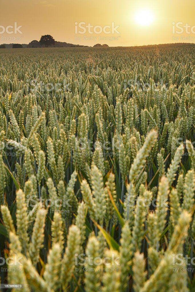 Wheat at sunset stock photo