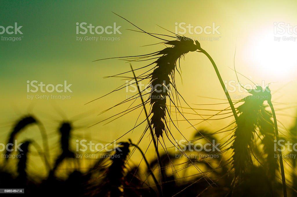 Blé au coucher du soleil photo libre de droits