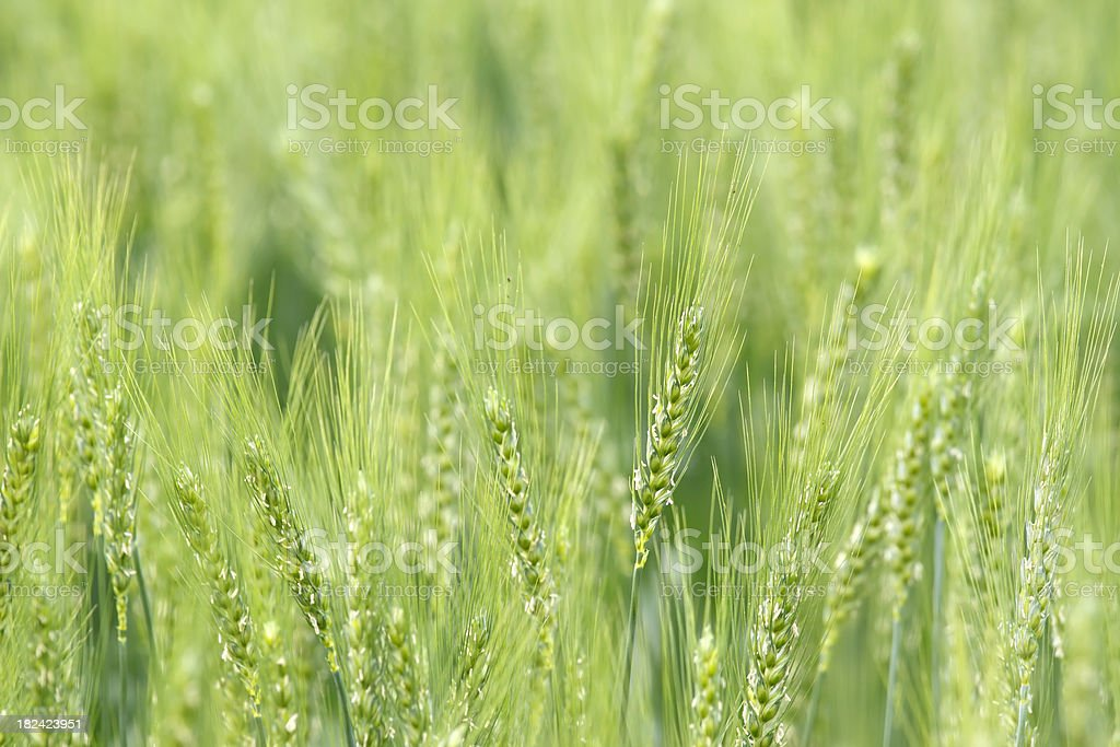 Wheat background Wheat field background Agricultural Field Stock Photo