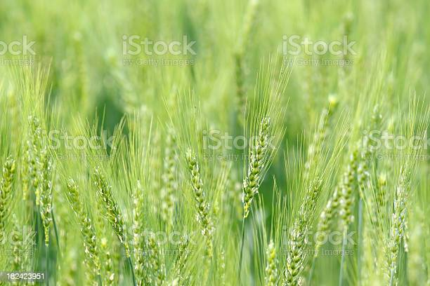 Wheat Background Stock Photo - Download Image Now