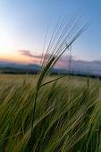 Wheat Beards.Wheat field morning sunrise and yellow sunset