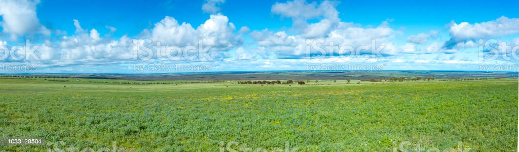 Wheat belt country landscape panorama of lupins in paddock and surrounding farm lands. stock photo