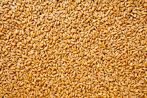 Wheat berries background, high resolution - 16 Mpx.