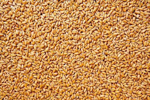 istock Wheat berries background. 171553200