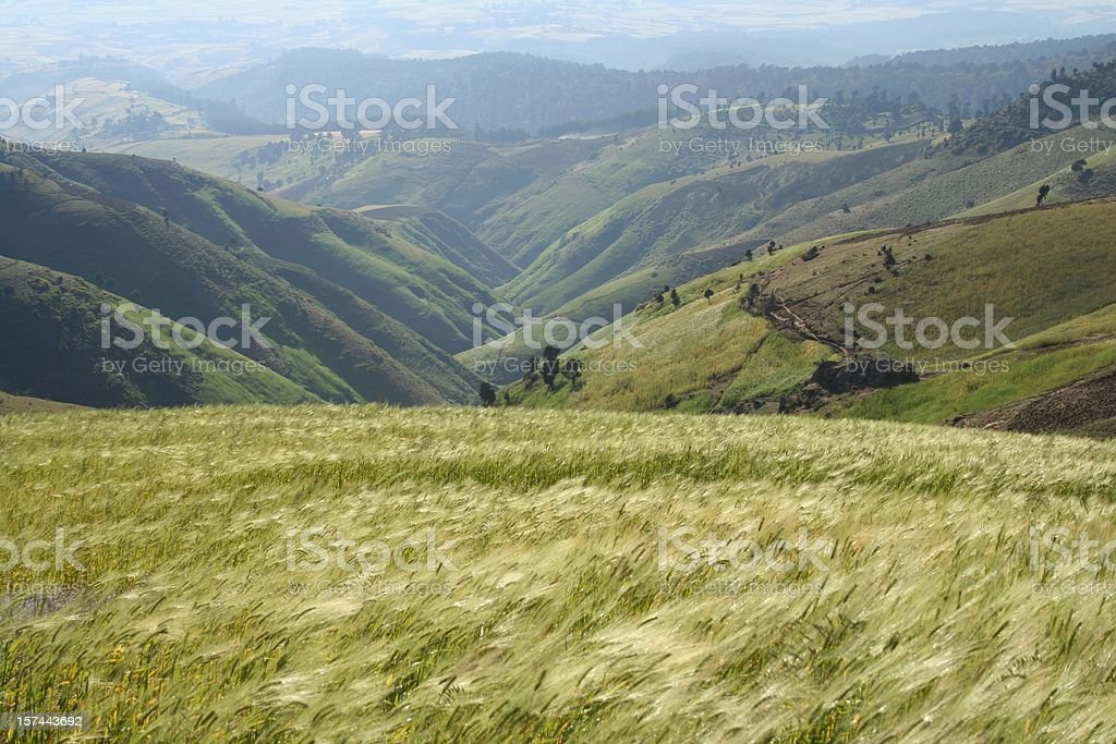 Wheat blowing in the wind in the country stock photo