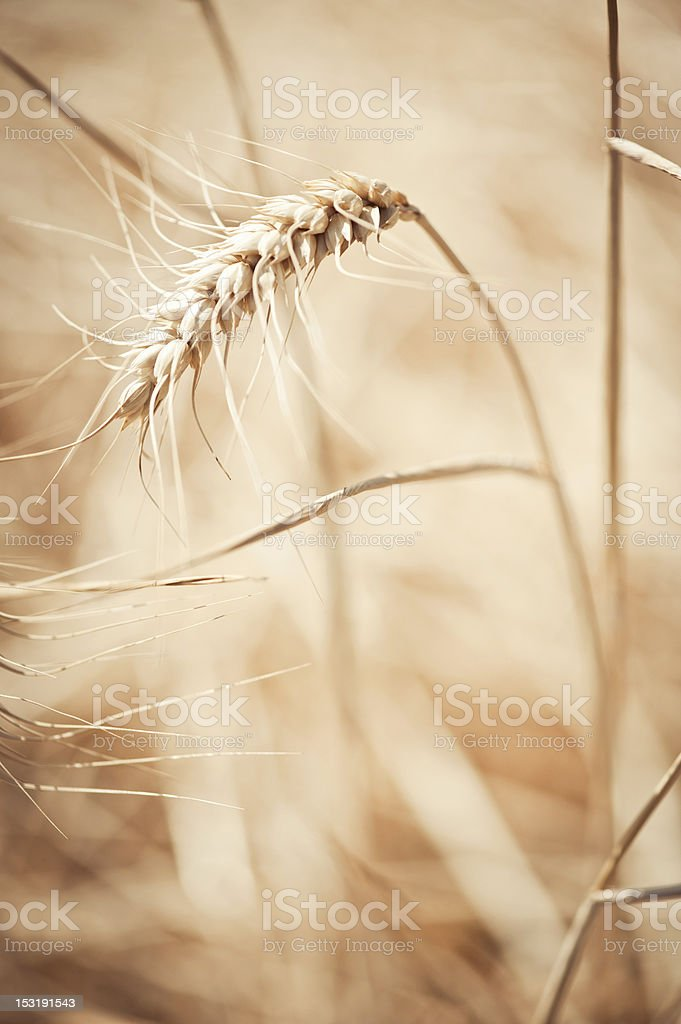 Wheat Bokeh Close up in Summer Warmth Sun stock photo