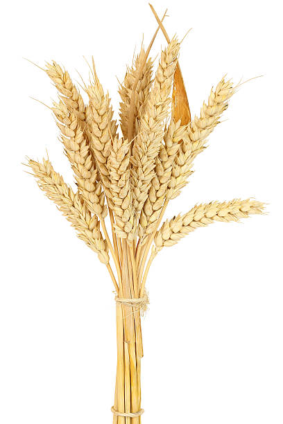 wheat bundle wheat bundle isolated on white ear of wheat stock pictures, royalty-free photos & images