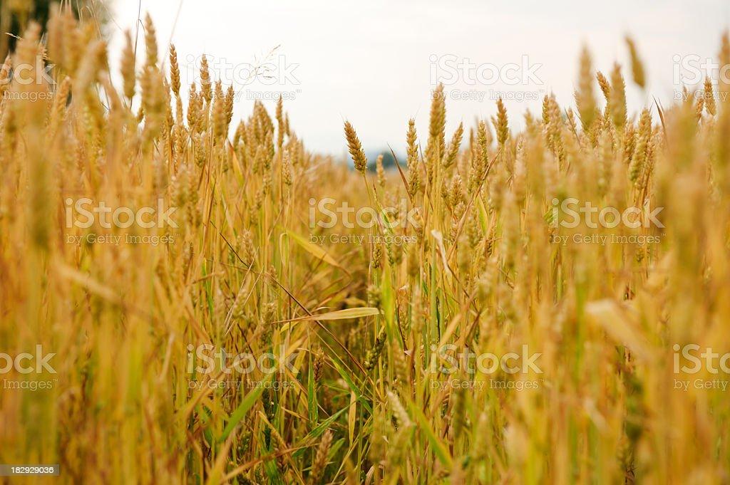 Wheat centre stock photo