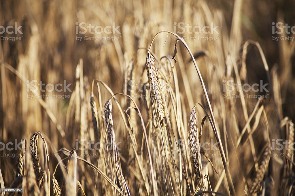 Wheat close up in field royalty-free stock photo