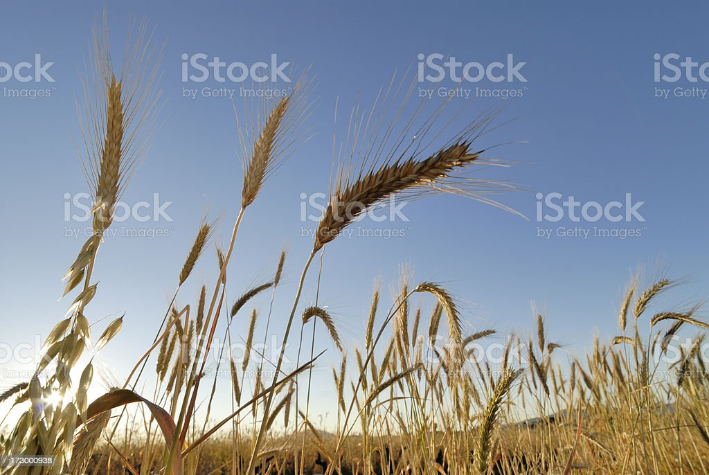 Wheat closeup landscape left stock photo