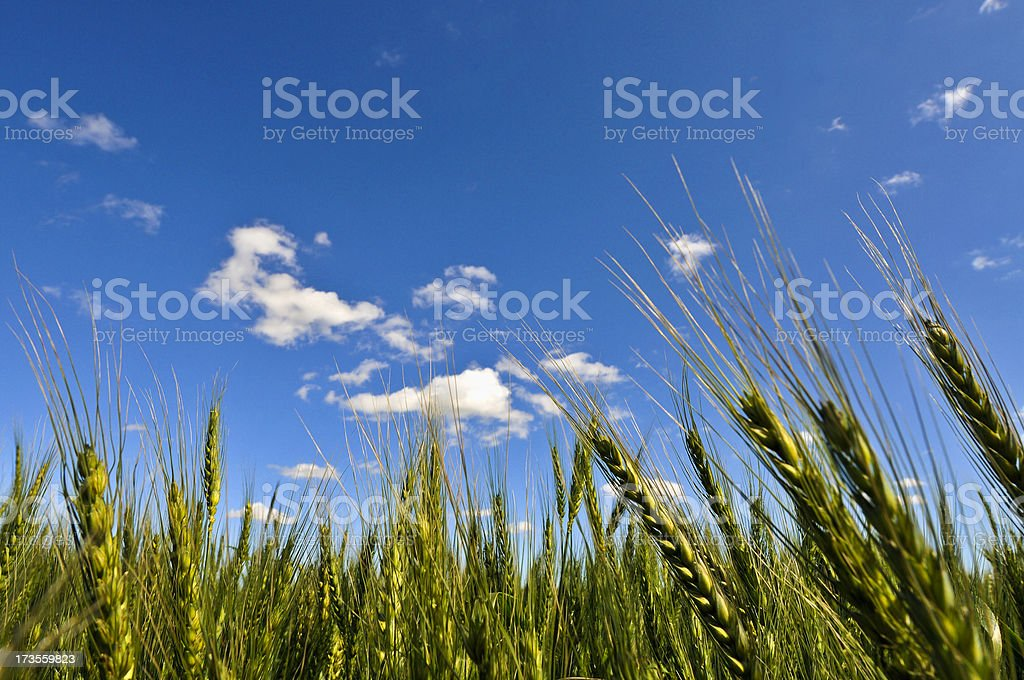 Wheat closeup landscape stock photo