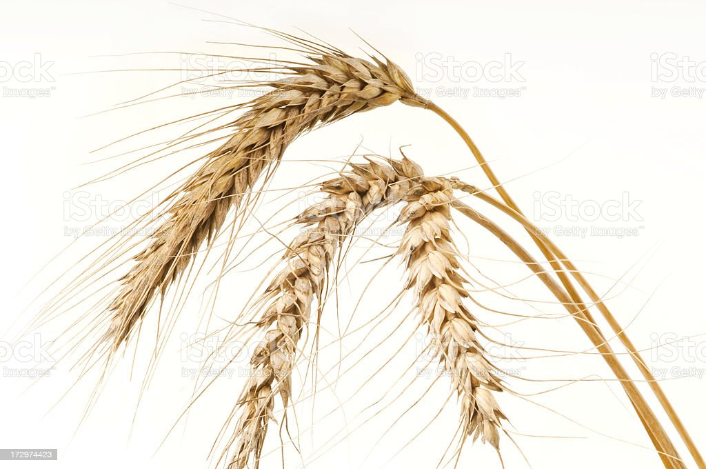 wheat - close-up royalty-free stock photo