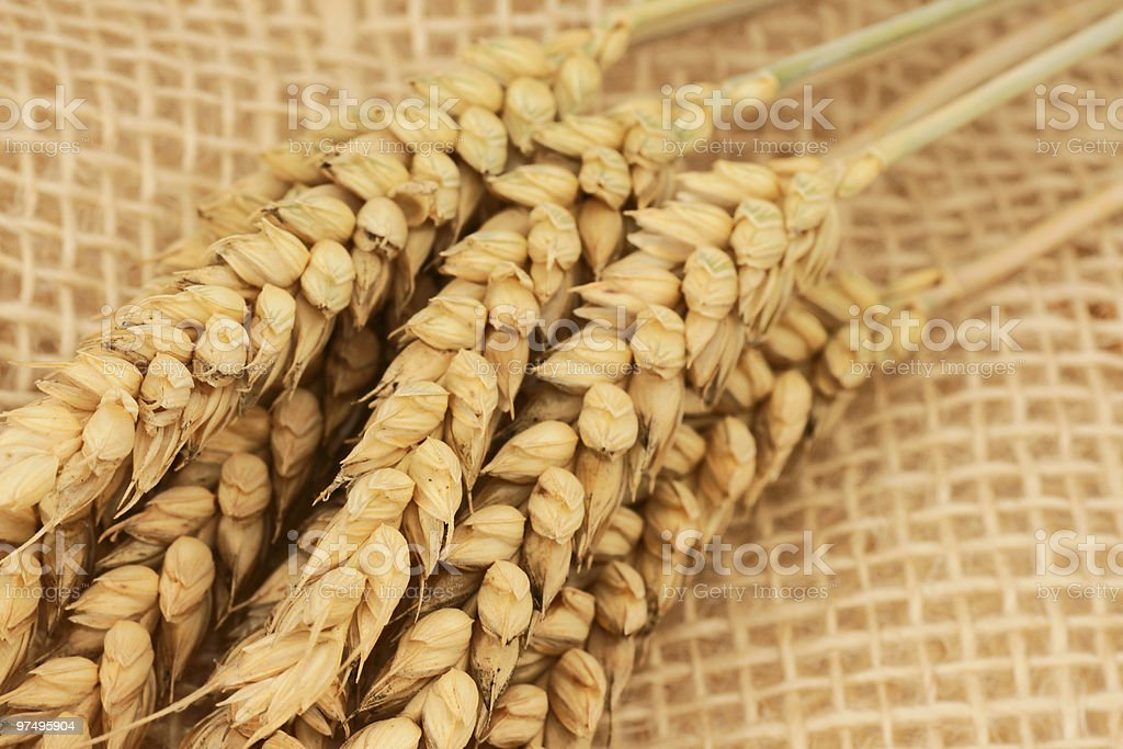 wheat close-up royalty-free stock photo